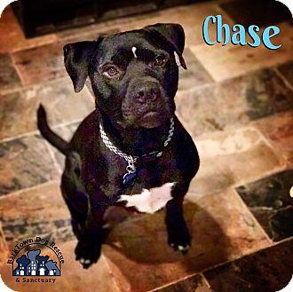 Labrador Retriever/Boxer Mix Dog for adoption in Suwanee, Georgia - Chase