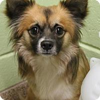 Adopt A Pet :: Ciabatta - Kennesaw, GA