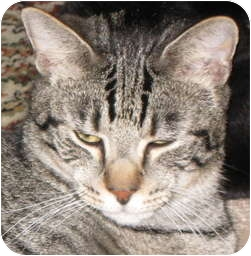 Domestic Shorthair Cat for adoption in Spartanburg, South Carolina - Ringo