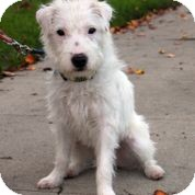 Jack Russell Terrier Mix Puppy for adoption in Burbank, California - Snowball - Courtesy post