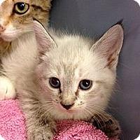 Adopt A Pet :: Armani - Fort Lauderdale, FL