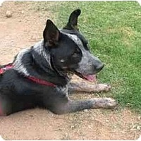 Adopt A Pet :: Sampson - Phoenix, AZ