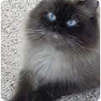 Adopt A Pet :: Sherpa - Arlington, VA