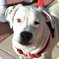 Adopt A Pet :: Coda - Gilbert, AZ
