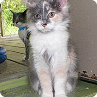Adopt A Pet :: Monica - Dover, OH