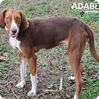 Adopt A Pet :: Adabelle - Virginia Beach, VA