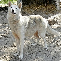 Photo 2 - German Shepherd Dog/Alaskan Malamute Mix Dog for adoption in Orlando, Florida - Wolfdog - Kito
