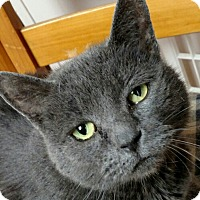 Domestic Shorthair Cat for adoption in New Market, Maryland - Rufus