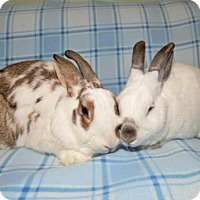 Adopt A Pet :: Moose and Daphne - Chesterfield, MO