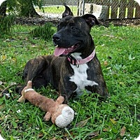 Boxer/American Pit Bull Terrier Mix Dog for adoption in Palm City, Florida - Brownie