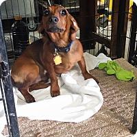 Adopt A Pet :: ROMEO - Lubbock, TX
