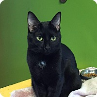 Domestic Shorthair Cat for adoption in Topeka, Kansas - Guppy