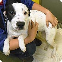 Adopt A Pet :: Dahlia - Redding, CA