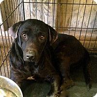 Labrador Retriever Mix Dog for adoption in El Centro, California - Miki