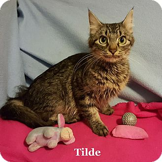 Domestic Mediumhair Cat for adoption in Bentonville, Arkansas - Tilde