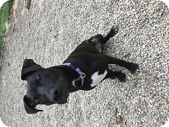 Pit Bull Terrier Dog for adoption in Holland, Michigan - Shay