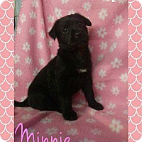 Adopt A Pet :: minnie mouse - Foristell, MO