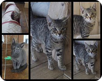 Domestic Shorthair Kitten for adoption in Martinsburg, West Virginia - A Few Cute Kittens!