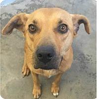 Adopt A Pet :: Lynette - Springdale, AR
