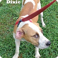 Adopt A Pet :: Dixie - Mountain View, AR
