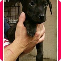 Adopt A Pet :: Pheonix - Elburn, IL