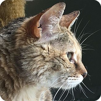 Domestic Mediumhair Cat for adoption in Port Angeles, Washington - Heather