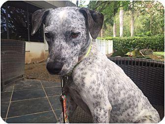 Dalmatian Mix Dog for adoption in New York, New York - Pinta