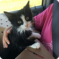 Domestic Longhair Kitten for adoption in Florence, Kentucky - Tux