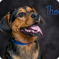 Adopt A Pet :: Thor - Somerset, PA