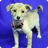 Adopt A Pet :: SWEETIE - Westminster, CO