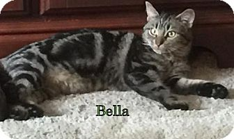 Domestic Mediumhair Kitten for adoption in Weatherford, Oklahoma - Bella