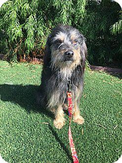 Terrier (Unknown Type, Medium)/Wheaten Terrier Mix Dog for adoption in El Segundo, California - Brody