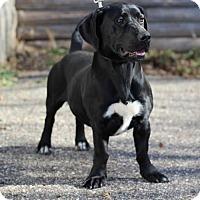Labrador Retriever/Basset Hound Mix Dog for adoption in St. Bonifacius, Minnesota - Belle
