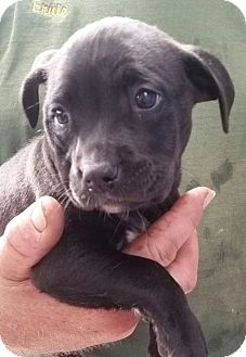 Retriever (Unknown Type) Mix Puppy for adoption in Gainesville, Florida - December