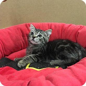 Maine Coon Kitten for adoption in Redding, California - Nutmeg