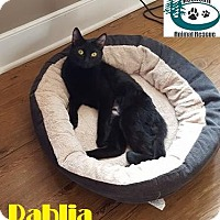 Adopt A Pet :: Dahlia - Bedtime snuggler! - Huntsville, ON
