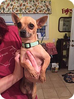 Chihuahua Dog for adoption in Raleigh, North Carolina - ChiChi Gonzales