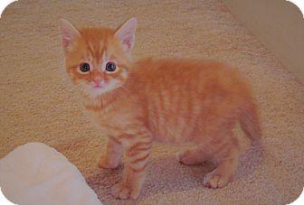 American Shorthair Kitten for adoption in Burgaw, North Carolina - Sebastian