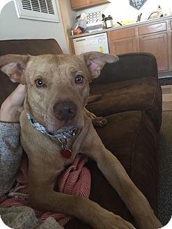 Labrador Retriever Mix Dog for adoption in Auburn, Massachusetts - Sebastian