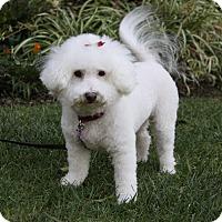 Adopt A Pet :: MARSHMALLOW - Newport Beach, CA