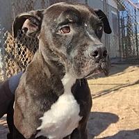 Adopt A Pet :: Jupiter - Amarillo, TX
