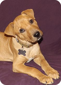 Labrador Retriever/Shar Pei Mix Puppy for adoption in Phoenix, Arizona - Aries