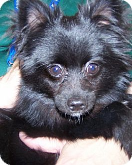 Pomeranian/Chihuahua Mix Puppy for adoption in Grants Pass, Oregon - Rocky