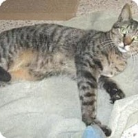 Domestic Shorthair Cat for adoption in Miami, Florida - Pedro