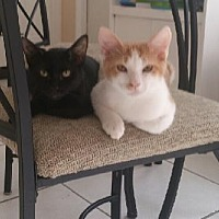 Domestic Shorthair Cat for adoption in Miami, Florida - Tobias