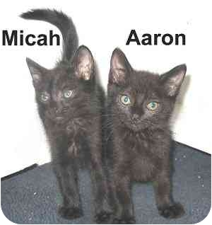Domestic Shorthair Kitten for adoption in AUSTIN, Texas - AARON & MICAH