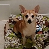 Chihuahua/Corgi Mix Dog for adoption in Columbia, Tennessee - Leon/TN
