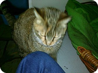 Domestic Shorthair Cat for adoption in Colbert, Georgia - Luella