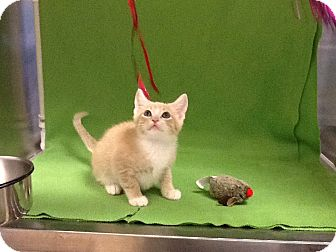 Domestic Shorthair Kitten for adoption in Houston, Texas - Harve