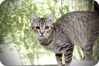 Domestic Shorthair Cat for adoption in San Antonio, Texas - Emma